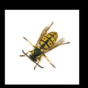 Yellow Jacket Exterminator